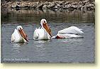 American White Pelicans, Bear River Migratory Bird Refuge, UT