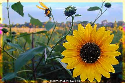 All images Copyright © 1997 - 2000 WriteLine. All Rights Reserved. Sunflower
